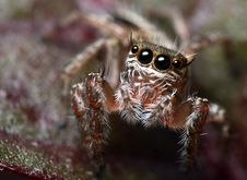 Free Jumping Spider Anterior View Stock Image - 14874561