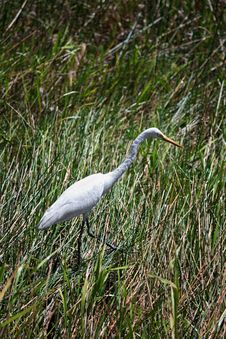 Free Egret, Water Bird Stock Images - 14874954