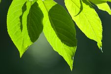 Free Beautiful Leafs In Sunlight Royalty Free Stock Images - 14874959
