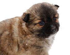Free Little Puppy Royalty Free Stock Images - 14875019