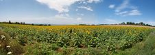 Free Meadow With Sunflowers Stock Photos - 14875193