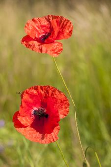 Free Poppy Royalty Free Stock Images - 14876479