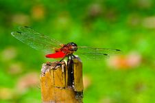 Free Red Dragonfly Royalty Free Stock Image - 14876516
