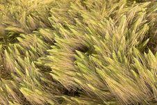 Free Many Wheat Royalty Free Stock Photography - 14876527