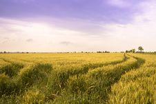 Free Wheat Land Royalty Free Stock Image - 14876546