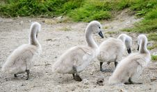 Free Young Swan Chicks Stock Image - 14877081