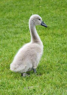 Free Young Swan Portrait Stock Images - 14877094