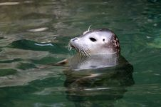 Free Large Picture Seal Stock Photo - 14878320