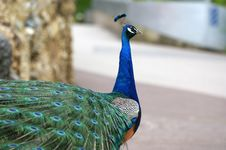 Free Peacock Stock Photography - 14878342