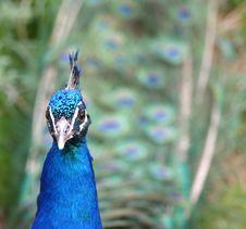 Free Peacock Royalty Free Stock Photo - 14878375