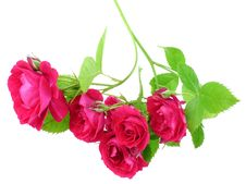 Free Red Roses Royalty Free Stock Images - 14878659