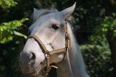Free White Horse Stock Photography - 14878892
