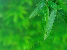 Free Bamboo Leaf Royalty Free Stock Photography - 14879027