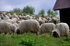 Free Sheep Flock Stock Images - 14879634