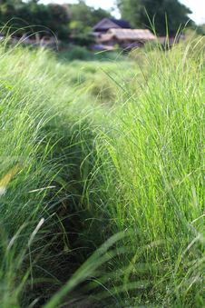 Free Thai Field Grass Stock Photo - 14879750