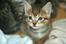 Free Kitten Close Focus On Face Stock Image - 14879851