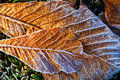 Free Frost Melting On Fallen Leaves Royalty Free Stock Photography - 14885357