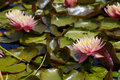 Free Pink Water Lily Stock Images - 14886964