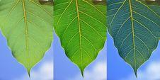 Free Leaf Stock Photo - 14880070