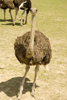 Free Ostrich On A Farm Royalty Free Stock Photo - 14880835