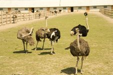 Free Ostrich S Farm Stock Photo - 14880990