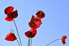 Free Flower Field Poppy Royalty Free Stock Photos - 14881028