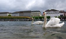 Free Lucerne, Switzerland, The White Swans On Lake Luce Royalty Free Stock Image - 14881196