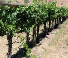 Free Grape Vines Stock Photography - 14882382