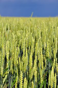 Free Green Wheat Stock Images - 14882634