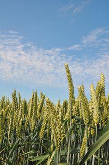 Free Green Wheat Stock Photography - 14882782