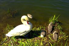 Free Swans Stock Photography - 14883672