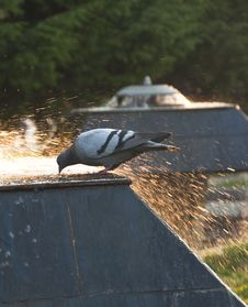 Free Pigeon In A Fountain Royalty Free Stock Photography - 14884317