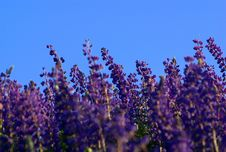 Free Lupins In The Sky Line Royalty Free Stock Photo - 14885125