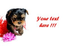 Free Cute Pretty Yorkshire Terrier Puppy Dog Sitting Stock Images - 14885404