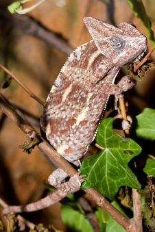 Free Veiled Chameleon In A Tree Stock Photo - 14885690