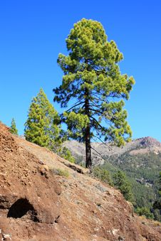 Free Green Pine Tree Royalty Free Stock Images - 14885759