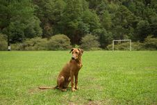 Free Ridgeback At Rest Stock Photo - 14886000