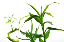 Free Isolated Lucky Bamboo Stock Photography - 14886182