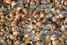 Free Sea Shells Royalty Free Stock Photography - 14887157