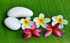 Free Plumeria Flower Royalty Free Stock Photos - 14888398