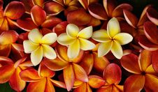 Free Beautifull Tropical Flower Stock Photography - 14888532