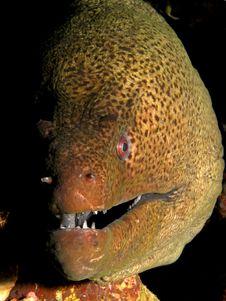 Free Giant Moray Stock Image - 14888551
