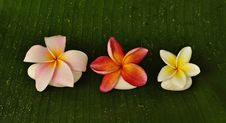 Free Various Colour Of Plumeria Flowers Stock Photography - 14888562