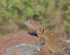 Free Collared Lizard 6 Royalty Free Stock Images - 14888579