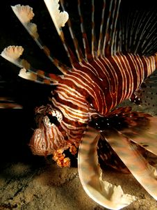Free Lionfish Royalty Free Stock Image - 14888596
