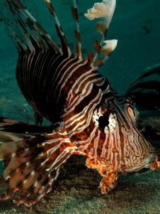 Free Lionfish Royalty Free Stock Photo - 14888605
