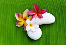 Free Various Colour Of Plumeria Flowers Royalty Free Stock Photos - 14888698