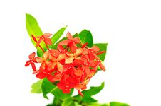 Free Red Tropical Flower Stock Image - 14888931