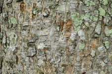 Free Texture Of Tree Royalty Free Stock Image - 14889016