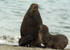 Amicable Family Of Fur Seals Stock Photography